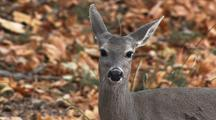 Deer In Forest Looks  At Camera Ears Turning And Listening Alert Curious Paying Attention