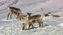 Caribou Feeding Resting On Snow In Winter Arctic Wildlife Migration Winter Wildlife Alaska