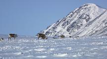 Caribou Walking On Snow And Feeding In Winter Arctic Wildlife Migration Winter Wildlife Alaska