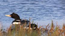 Yellow-Billed Loon On Jobe Lake Gates Of The Arctic