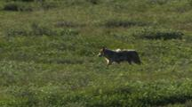 Gray Wolf Running In Distance Across Tundra Alaska Wildlife Predator