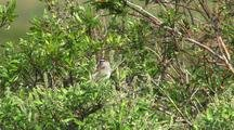 White Crowned Sparrow Perching