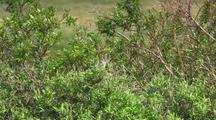 White Crowned Sparrow Perching, Flies Away