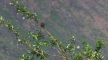 White Crowned Sparrow Perching On Windy Branch