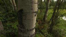 Arctic Birch Forest With Full Summe Leaves Green Lush