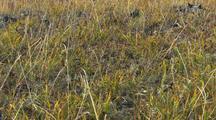 Lemming on tundra in northern alaska, prey species, arctic rodent