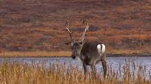 Caribou migrating, feeding, walking across tundra, central arctic caribou herd