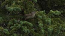 White-Crowned Sparrow In Conifer Tree