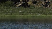 Birds, Possibly Arctic Tern Swoop, Dive Over River
