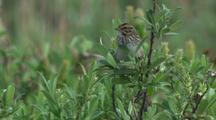 Savannah Sparrow Perches In Tree In Alaska, Songbird