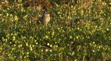 White-Crowned Sparrow In Feeds On Tundra