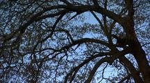 Oak Tree Branches, Bright Blue Sky