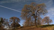 Oak Trees On Hill, Bright Blue Sky, Jet Trails