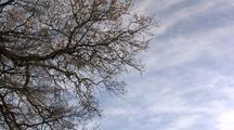 Oak Tree Against Blue Sky, Wispy Clouds