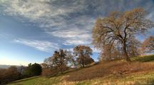 Oak Trees On Hill, Bright Blue Sky, Wispy Clouds