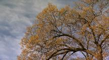 Oak Tree Against Blue Sky, Wispy Clouds