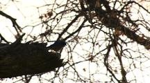 Bird, Possibly A Western Bluebird, In Oak Tree Branches