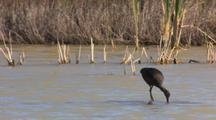 Glossy Ibises Walks Feeding, Southern California Birds