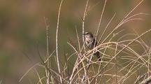 Southern California Songbird
