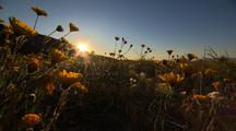 Wildflowers Bloom In The Desert At Sunrise