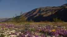 Wildflower Desert Bloom Colors In The Desert