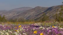 Pull To Wide Shot Carpet Of Desert Flowers