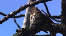 Fox Sparrow, Songbird Perched, Singing In Morning, Alaska