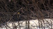 Yellow Warbler Flying To Branch Then Flies Away Landing Takeoff