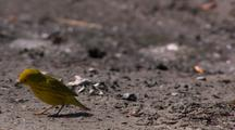 Yellow Warbler Jumping Across Frame Walking Hoping On Mudflat