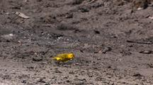 Yellow Warbler Feeding On Ground