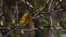 Yellow Warbler Perched On Branch Then Jumps Off Drops Off Flies Away