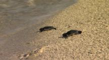 Green Sea Turtle Hatchlings Heading To Ocean Baby Turtles