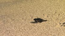 Green Sea Turtle Hatchlings Heading To Ocean Baby Turtles