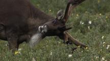 Caribou Grazing In Green Field Scratching Itching Head