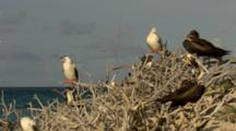 Red Footed Boobies Roosting On Vegitation