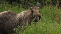 Moose Standing Behind Green Grass Mound Shakes Body Dust Flies