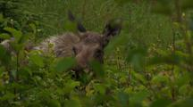 Head Of Moose Intently Snacking In Green Summer Alder Thicket