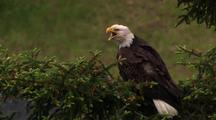 Bald Eagle Perched In Green Tree On Breezy Day