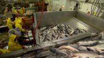 Bristol Bay Fishery Alaska Cannery Workers Sort Salmon While Tons More Salmon Are Moved By Conveyor In Foreground