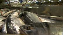 Tons Of Alaska Salmon Move Down Conveyor And Cascade Into A Big Bin Water Splashes On Lense
