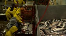 Workers Sort Alaska Salmon For Processing