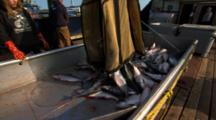 Bristol Bay Salmon Fishery Pebble Mine Alaska Salmon Are Dumped Out Of Brailer Bag Headed For Processing