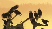 Adult And Subadult Bald Eagles Perch And Land On Downed Tree In Front Of Orange Haze