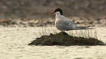 Arctic Tern flying to feed chick, feeding chick
