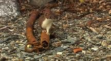 Short-Tailed Weasel Or Ermine (Mustela Erminea) And The Least Weasel (Mustela Rixosa)