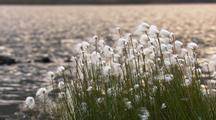Cotton Grass Near Lake In Alaska