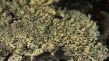 Moss And Lichen, Vegitation Arctic, Dall Sheep, Caribou Food
