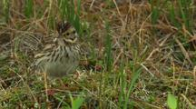 Savannah Sparrow Forages Around Tundra Grass