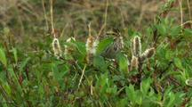 Savannah Sparrow Pecks Around Tundra Willows