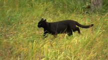 Black Cat Walks Across Green Grass In Alaska